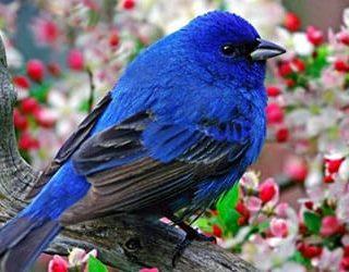 Сонник синяя птица