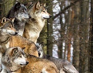 К чему снится стая волков?