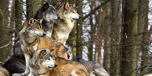 видеть во сне стаю волков
