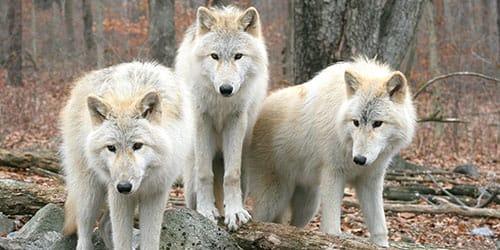 к чему снится стая волков