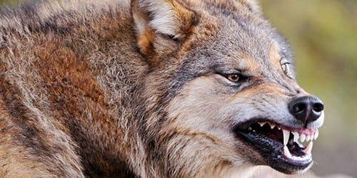 агрессивный волк