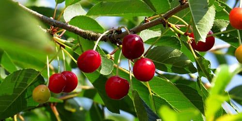 вишневое дерево