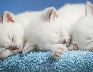 К чему снятся белые котята?