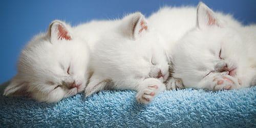к чему снятся белые котята