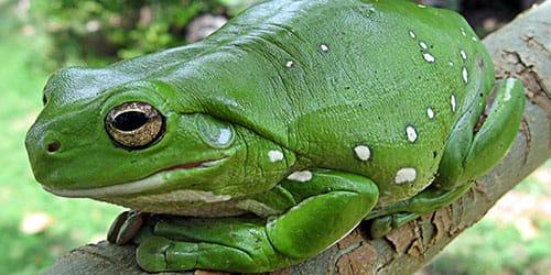 видеть большую лягушку во сне