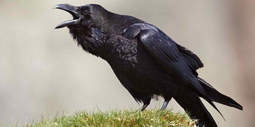 Сонник черная ворона к чему снится черная ворона во сне