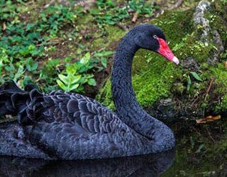 Сонник чёрный лебедь