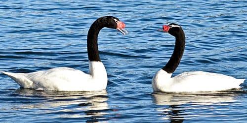 черно–белые птички