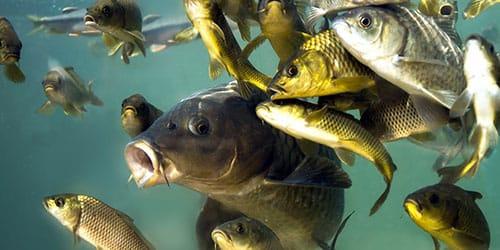 рыба в воде