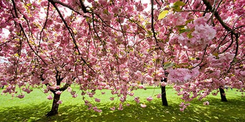 деревья цветут
