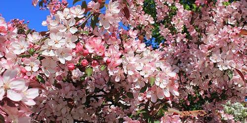 цветущее деревце