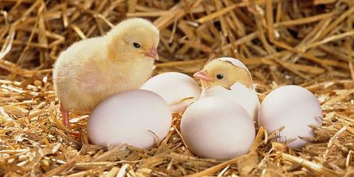 видеть во сне цыпленка
