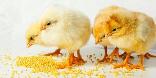 кормить цыплят