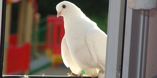 к чему снится голубь в доме