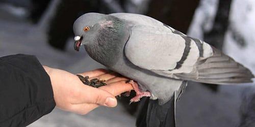 голубь в руках во сне