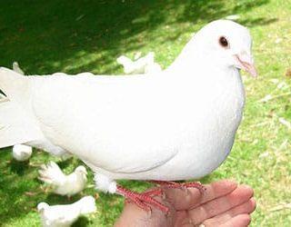К чему снится голубь в руках?