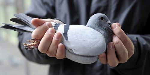 к чему снится голубь в руках