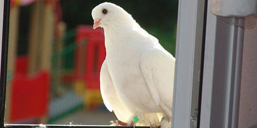 голуби в квартире во сне