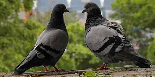 к чему снятся голуби в квартире