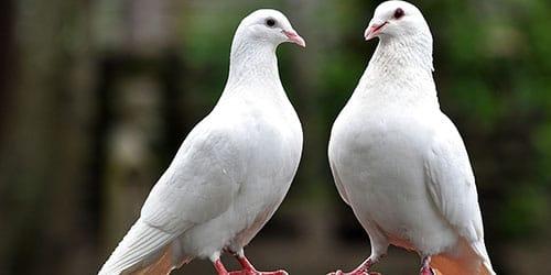 два белых голуба
