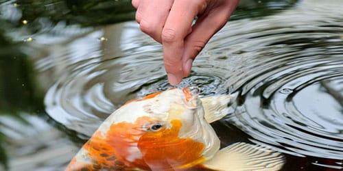 кормить рыбу во сне