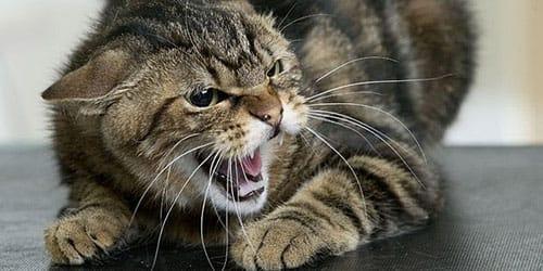 разъяренная кошка