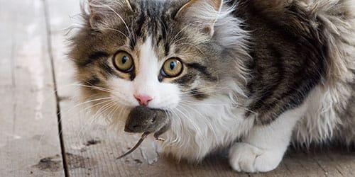 сонник кот принес мышь