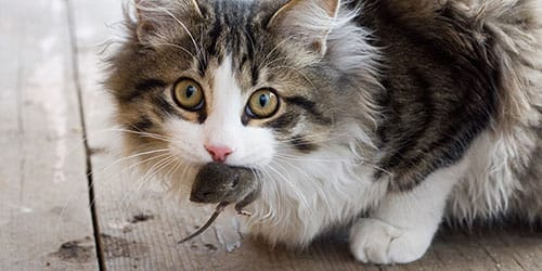 кошка поймала мышь во сне