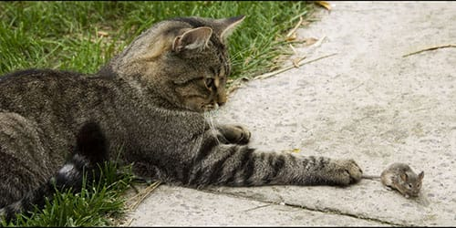 Сонник кошка поймала мышь к чему снится кошка поймала мышь во сне