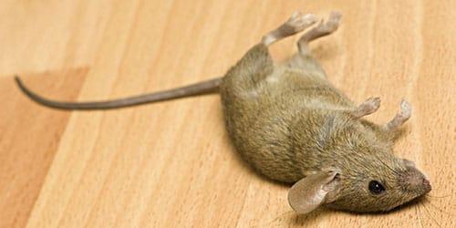 мертвая мышь