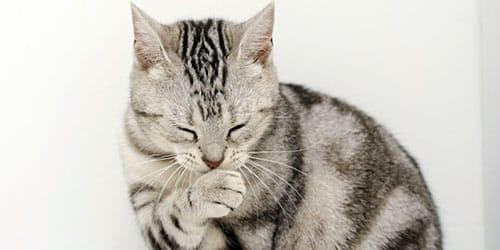 кот умывается