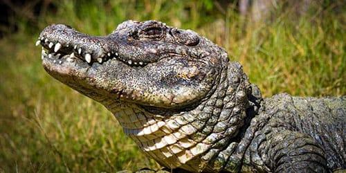 крокодил кусает во сне