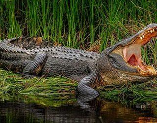 Крокодил кусает