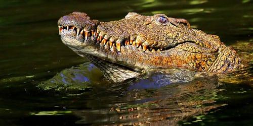 к чему снится крокодил в воде