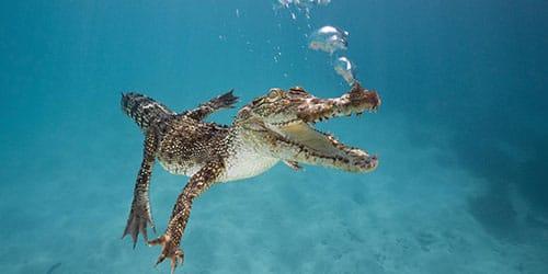 рептилия плывет