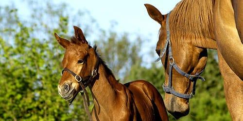 видеть во сне лошадь с жеребенком