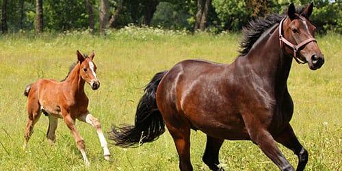 к чему снится лошадь с жеребенком