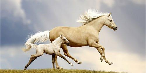 белые лошадки