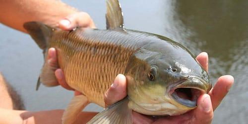 поймать рыбу руками
