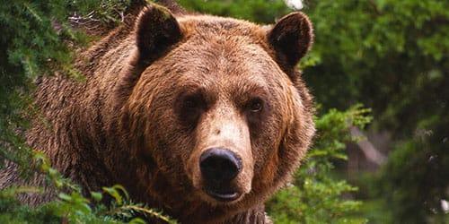 медведь настороженно смотрит