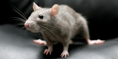 видеть мышонка во сне
