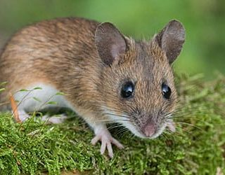 К чему снится мышонок?