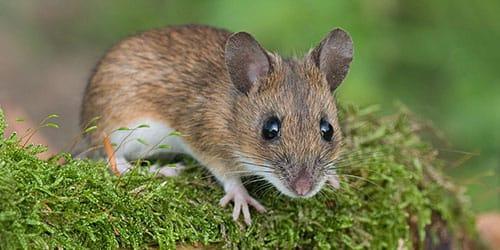 к чему снится мышонок