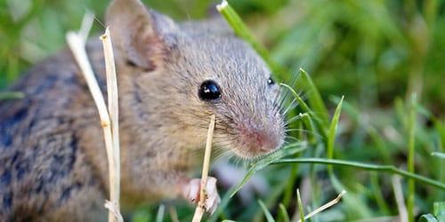 серая мышь