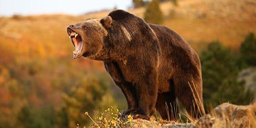 к чему снится что напал медведь