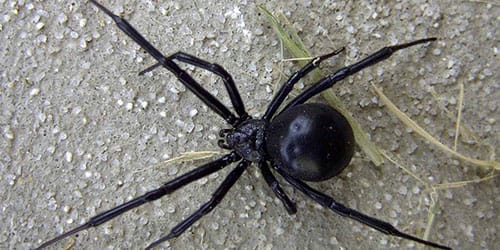 паук черного цвета