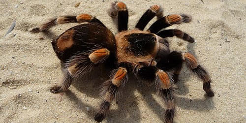 видеть во сне паука тарантула