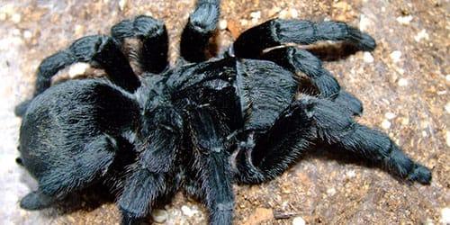 к чему снится паук тарантул