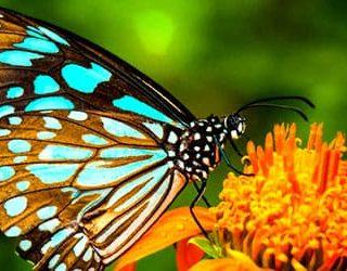Сонник разноцветные бабочки