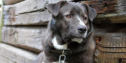 темная собака